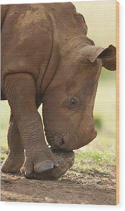 White Rhinoceros Ceratotherium Simum Wood Print by Matthias Breiter