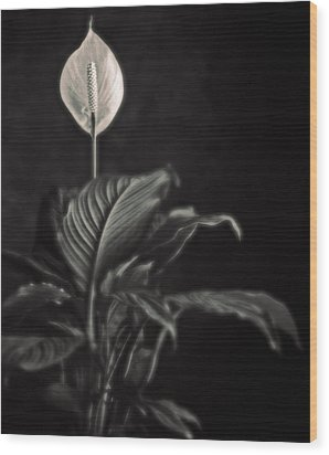 White Skunk Cabbage Wood Print by Joseph Gerges