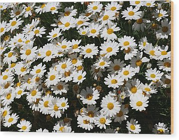White Summer Daisies Wood Print by Christine Till