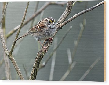 White Throated A Sparrow Wood Print by Laura Mountainspring
