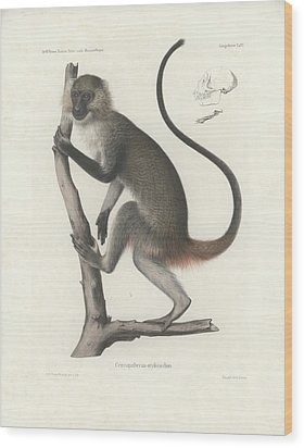 White Throated Guenon, Cercopithecus Albogularis Erythrarchus Wood Print