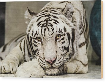 White Tiger Looking At You Wood Print