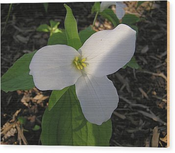 White Trillium Wood Print by Richard Mitchell