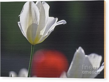 White Tulips  Blossom Wood Print by Heiko Koehrer-Wagner