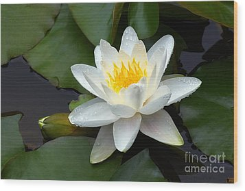 White Water Lily And Bud Wood Print by Susan Isakson