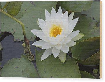 White Waterlily Wood Print by Linda Geiger