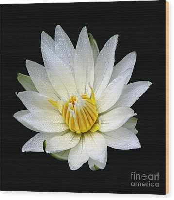 Wood Print featuring the photograph White Waterlily With Dewdrops by Rose Santuci-Sofranko