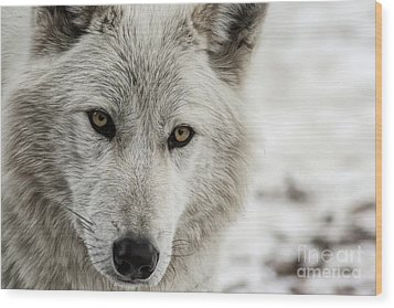 White Wolf II Wood Print