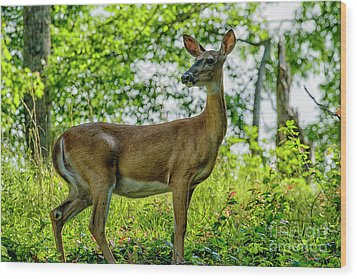 Wood Print featuring the photograph Whitetail Deer  by Thomas R Fletcher