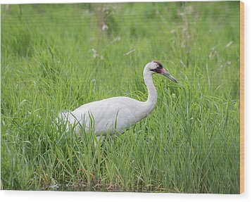 Whooping Crane 2017-2 Wood Print by Thomas Young