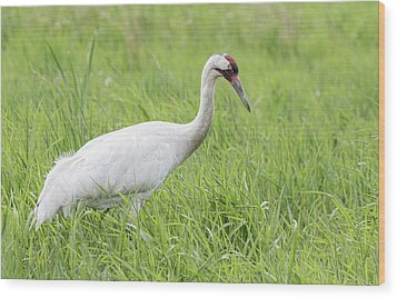 Whooping Crane 2017-3 Wood Print by Thomas Young