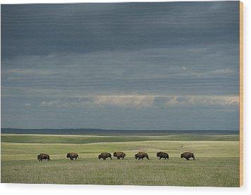 Wild American Bison Roam On A Ranch Wood Print by Joel Sartore