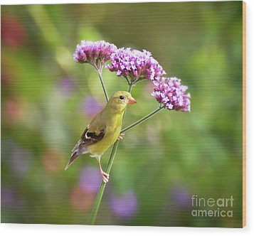 Wood Print featuring the photograph Wild Birds - Female Goldfinch by Kerri Farley