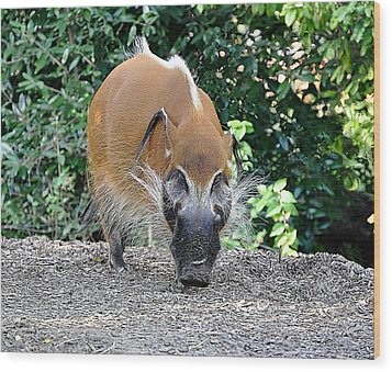 Wild Boar Wood Print by Jan Amiss Photography