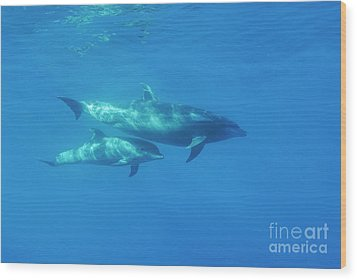 Wild Bottle-nosed Dolphin Mother And Calf Wood Print by Sami Sarkis