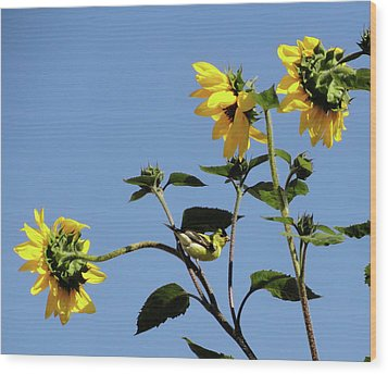 Wild Canary Sunflowers Wood Print by Shannon Grissom