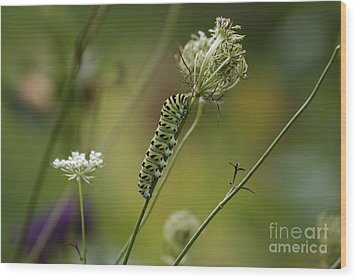 Wild Carrot Feast Wood Print by Randy Bodkins