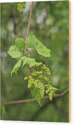 Wild Grapes 1992 Wood Print by Michael Peychich