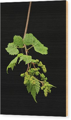 Wild Grapes 1995 Wood Print by Michael Peychich