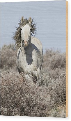 Wild Grey Stallion Runs Close Wood Print by Carol Walker