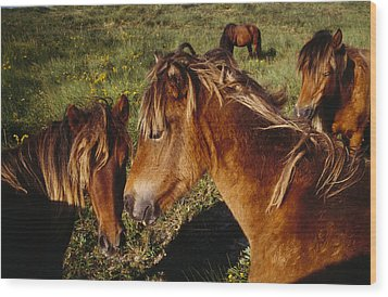 Wild Horses On Sable Island Wood Print by Justin Guariglia