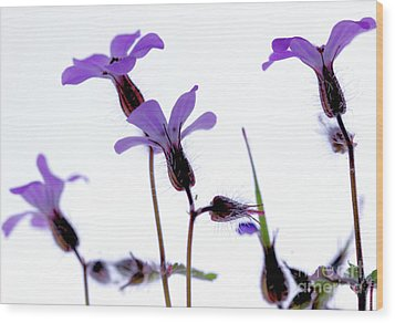 Wild Knotted Cranesbill Wood Print