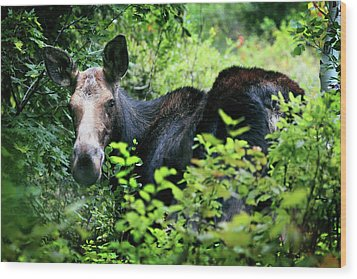 Wild Moose Wood Print by Dan Pearce