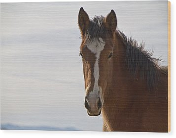 Wild Mustang Yearling Wood Print
