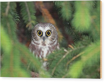 Wild Northern Saw-whet Owl Wood Print by Mlorenzphotography