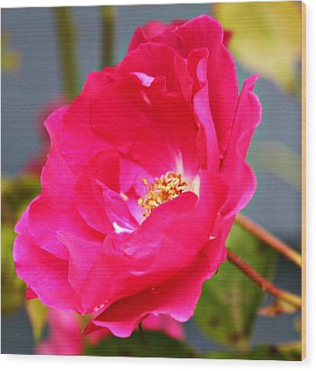 Wild Pink Rose Wood Print by Cathie Tyler