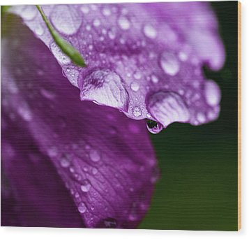 Wood Print featuring the photograph Wild Rose Droplet by Darcy Michaelchuk