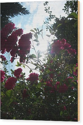 Wild Rose Shine Wood Print by Ken Day