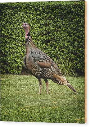 Wild Turkey Wood Print by Kelley King