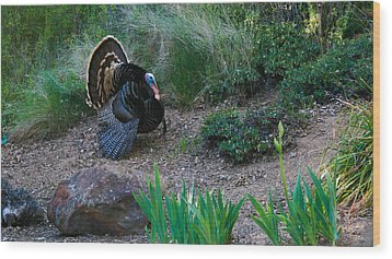 Wild Turkey Wood Print by Mark Barclay
