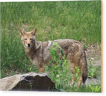 Wiley Coyote Wood Print by Marty Koch