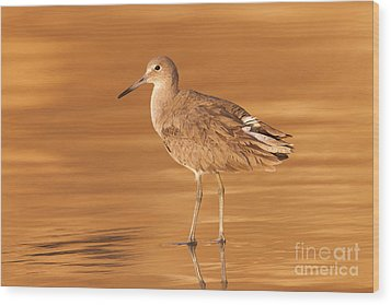 Willet Wood Print by Clarence Holmes