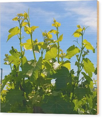 #wine #vines Reaching For The Sky :-) Wood Print