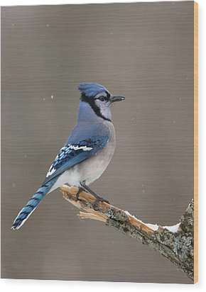 Wood Print featuring the photograph Winter Blue Jay by Timothy McIntyre