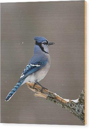 Winter Blue Jay Wood Print by Timothy McIntyre