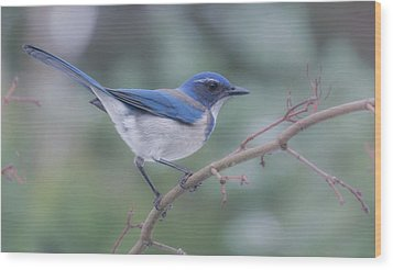 Wood Print featuring the photograph Wintering Scrub Jay by Angie Vogel
