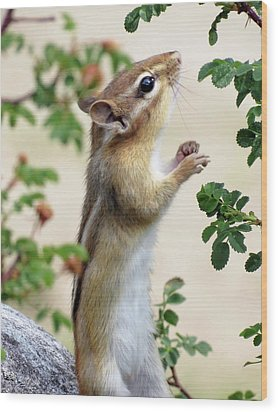 Within Reach - Chipmunk Wood Print by MTBobbins Photography