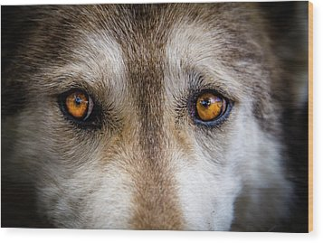 Wood Print featuring the photograph Wolf Eyes by Teri Virbickis