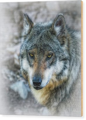 Wolf Gaze Wood Print by Elaine Malott