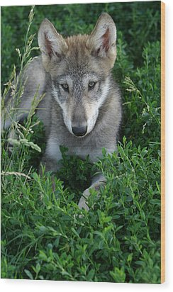 Wolf Pup Portrait Wood Print by Shari Jardina