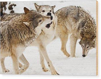 Wolves At Play Wood Print by Melody Watson