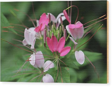Wood Print featuring the photograph Wonders Of Cleome by Deborah  Crew-Johnson