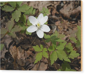 Wood Print featuring the photograph Wood Anemone by Linda Geiger