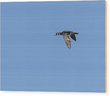 Wood Duck 2017-1 Wood Print by Thomas Young
