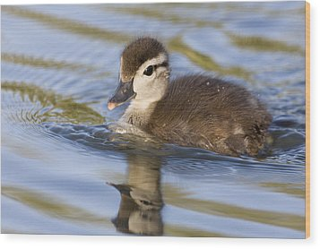 Wood Duck Duckling Swimming Santa Cruz Wood Print by Sebastian Kennerknecht