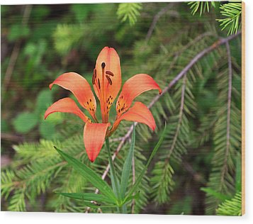 Wood Lily Also Called Prairie Lily Or Western Red Lily Wood Print by Louise Heusinkveld